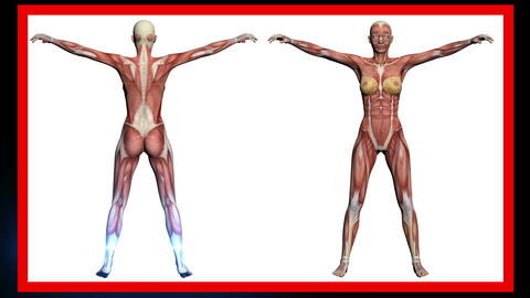 animation - scan of Human Anatomy , Female Muscles made in 3d software Animation