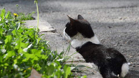 Hungry cat prepare her attack for hunt food in green grass in rural garden Live Action