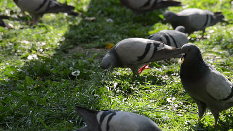 Flock of pigeons looking for food and feeding in the grass at the park Footage
