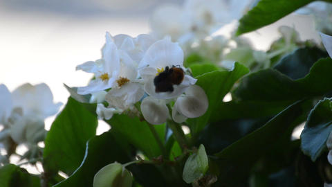 Bumblebee flies from flower to flower Stock Video Footage