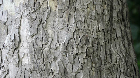 bark of oak tree Footage