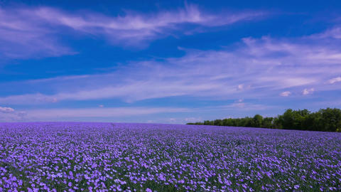 A Field of Flowering Flax Footage