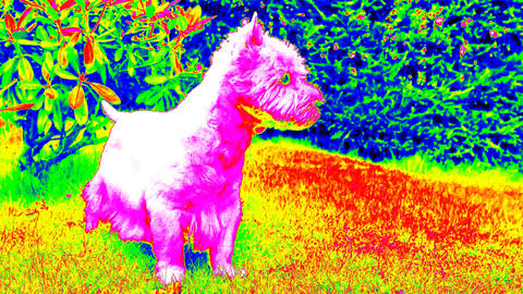 Ultraviolet scan. West Highland White Terrier sitting on the fresh green grass i