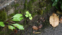 Plants into moss on stone Footage