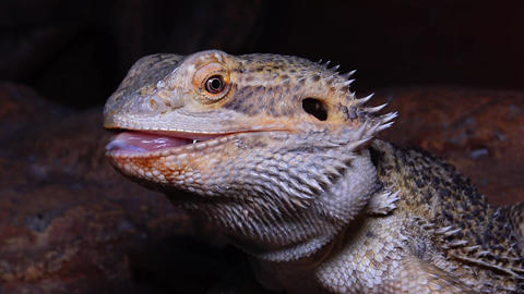 Agamid lizard (Pogona vitticeps), the bearded dragon Live Action