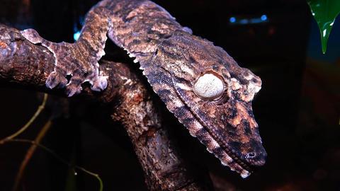 (Uroplatus henkeli). Henkel's leaf-tailed gecko Footage