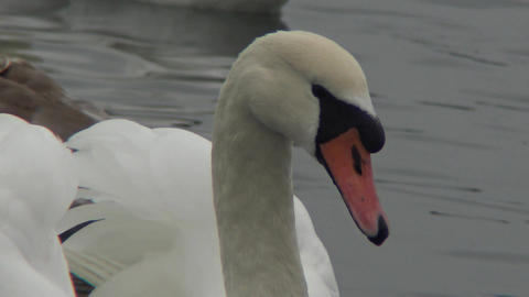 Mute swan (Cygnus olor). Graceful white mute swans swimming and feeding in the river.Water bird Footage