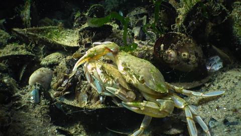 Fauna of the Black Sea. Ukraine. Swimming crab (Macropipus holsatus) Live Action