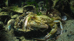 Fauna of the Black Sea. Ukraine. Swimming crab (Macropipus holsatus) Footage