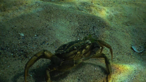 Big Green crab (Carcinus maenas) runs fast over the sand. Invasive species Live Action