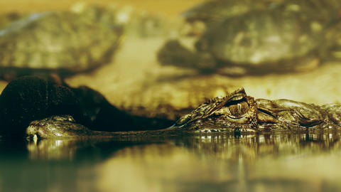 1080p Eye of Crocodile Cayman (Caiman Crocodilus) Looking Out From Under Footage
