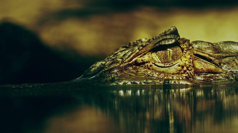 1080p Eye of Crocodile Cayman (Caiman Crocodilus), Looking Out From Footage