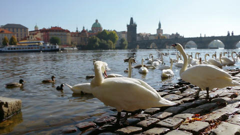 White Swans in Prague Footage