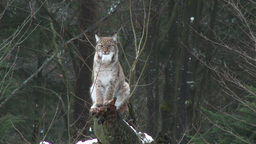 Eurasian Lynx ( Lynx lynx) in winter forest Footage