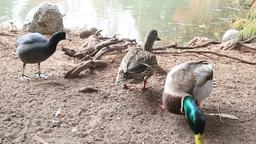 Ducks eating near a pond Footage