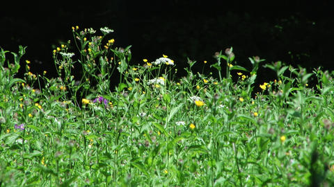 Wild flowers, small yellow, white. The grass is green, flowers are in the wind 0 Footage