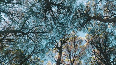 Look Up from Under Cedar Tree Crowns Footage