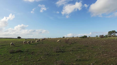 Flock of Sheep Grazing in Meadow Footage