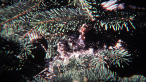 1974: Parental house finch sparrow birds feeding newborn baby chicks Footage