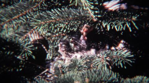 1974: Parental house finch sparrow birds feeding newborn baby chicks Footage
