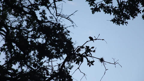 Songbird silhouette in early morning 画像