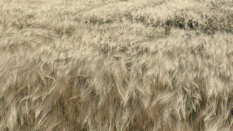 Wind moves the wheat in the field Footage