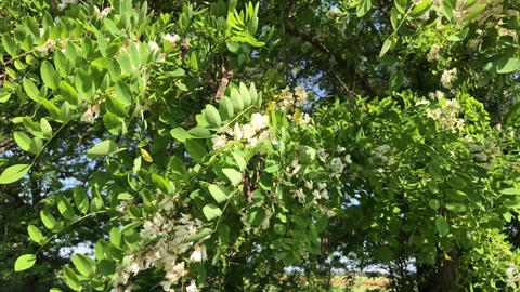 Flowering acacia trees Footage