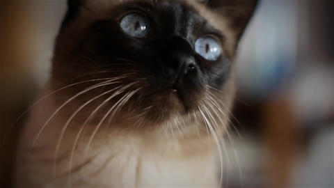 Beautiful blue-eyed Cat Footage