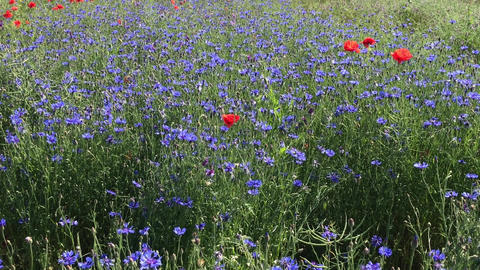 Field with blue cornflowers and poppies Footage