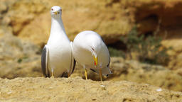 A Seagull couple together Footage