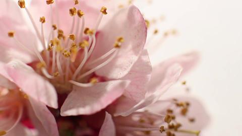 Beautiful Cherry Blossom 12 Footage