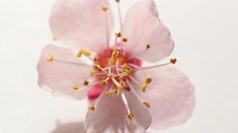 Beautiful Cherry Blossom 11 Footage