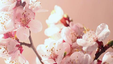 Beautiful Cherry Blossom 2 Footage