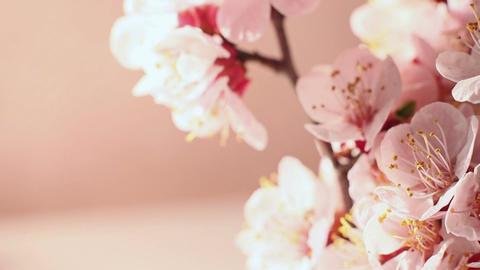 Beautiful Cherry Blossom 4 Footage