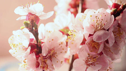Beautiful Cherry Blossom 6 Footage