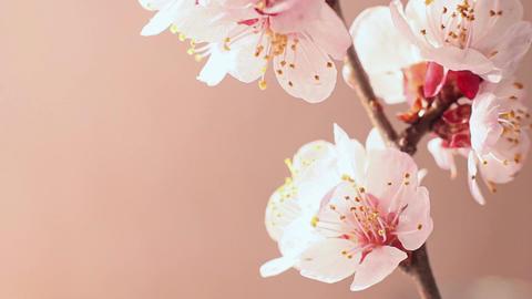 Beautifu Cherry Blossom Footage