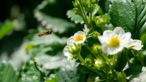 Bee on strawberry flowers Footage