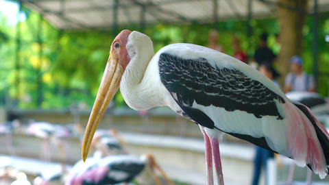Storks in zoo Footage
