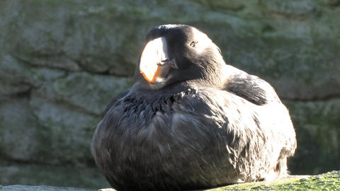 Puffin Bird Sitting in the Sun Footage