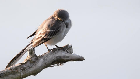 White wagtail juvenile bird (Motacilla alba) sitting on a branch and polishing i Live Action