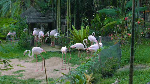 Group of flamingos in zoo Footage