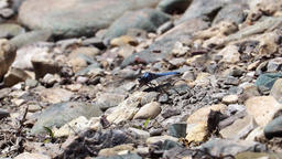 Blue Dragonfly on stony ground Footage