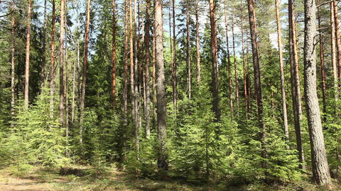 Pine forest in summer Footage