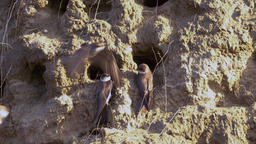 Sand martin colony Footage