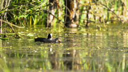 Coot family feeding Footage