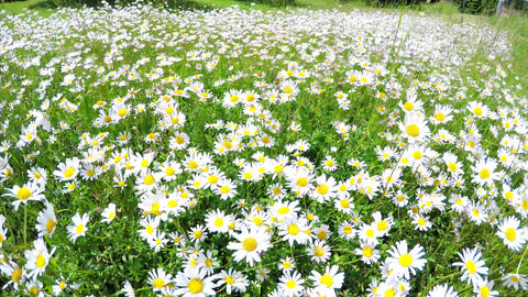 Field with white daisies Footage