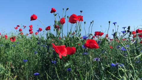 Field with blue cornflowers and red poppies Footage