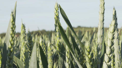 Industrial Agriculture Green Wheat Closeup Pan Footage