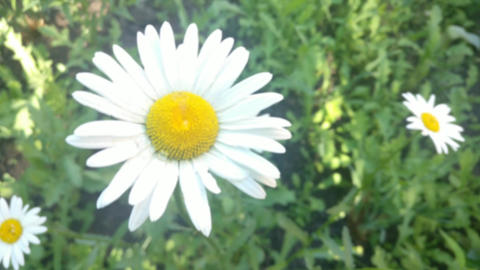 Daisy flower Zoom Live Action