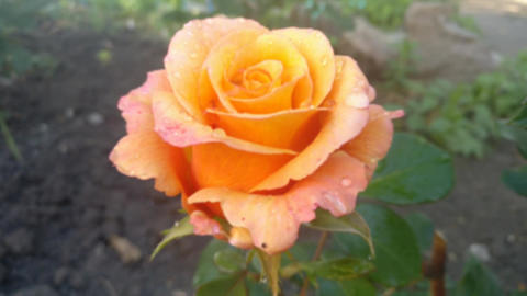Multi colored rose in the garden Zooming Footage